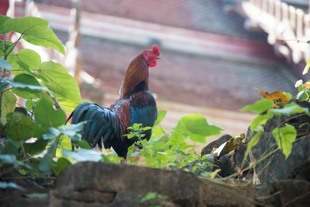 Ovo de galinha, use para animais de fazenda e tema de gado