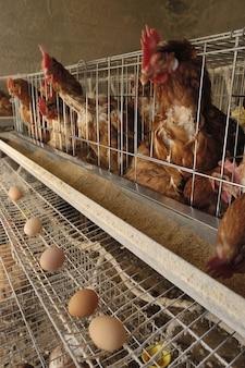 Ovos de fábrica de frango