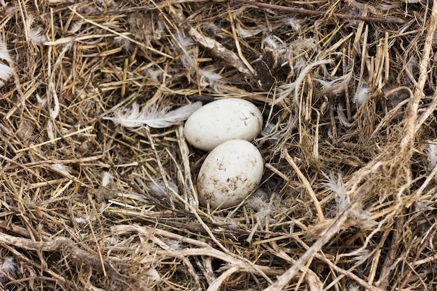 Ovos frescos no feno de galinhas na fazenda