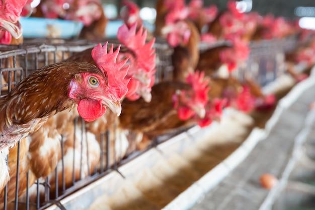Ovos galinhas na fazenda local