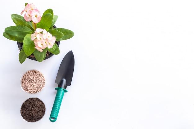 Pá de vista superior, solo, fertilizante e planta de cristo, ou espinho de cristo em vaso de jardim