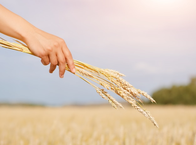 Pacote de trigo dourado na mão de uma mulher em meio ao céu e ao campo de trigo. conceito de agricultura, colheita