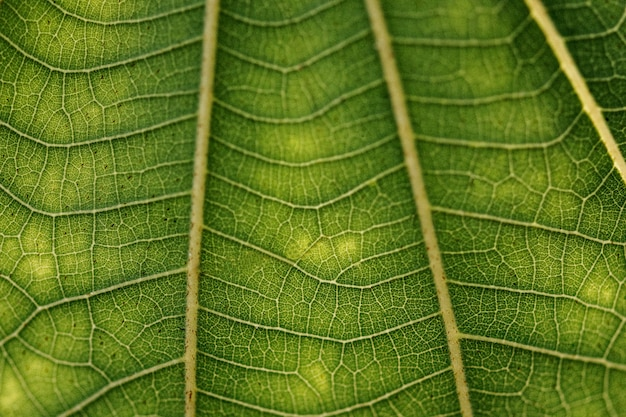 Padrão de arte em macro fotografia de textura de folha branca de anão verde escuro