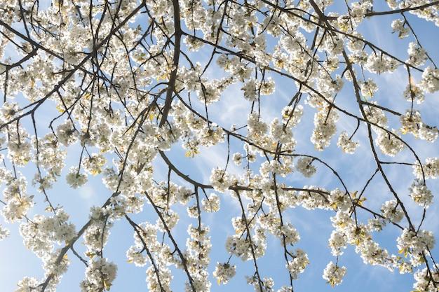 Padrão de árvore de flor de cerejeira com céu azul