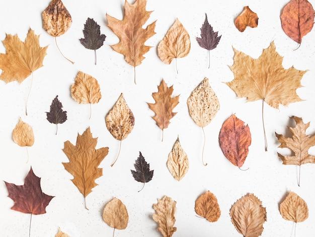 Padrão de outono de várias folhas coloridas caídas de várias árvores em fundo de textura branco. postura plana de folhas de outono coleção botânica, vista superior.