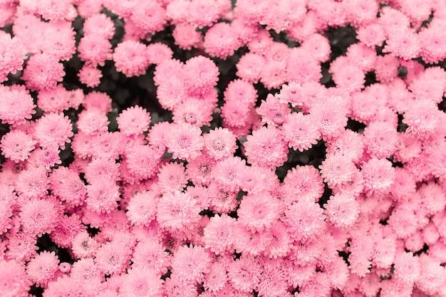 Padrão floral. fundo natural de floração de lindos crisântemos rosa pastel.