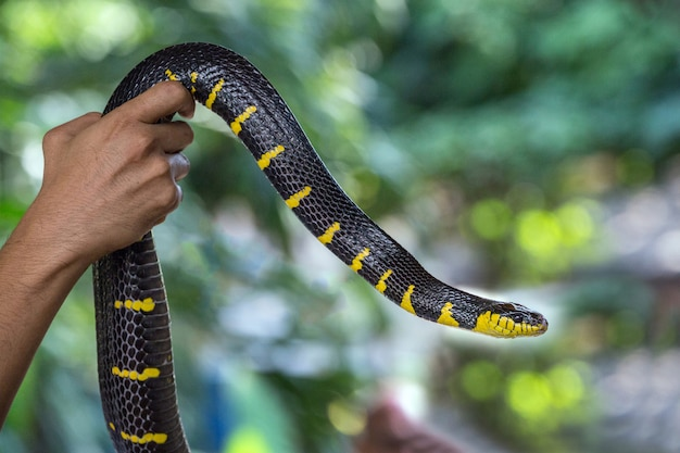 Padrões coloridos e corpo da serpente de gato com anel de ouro. (cobra de mangue) (boiga dendrophila)