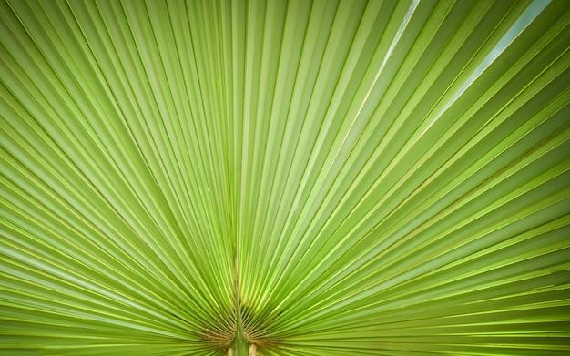 Padrões de verdes naturais - textura de folha de palmeira verde grande em natural e luz solar