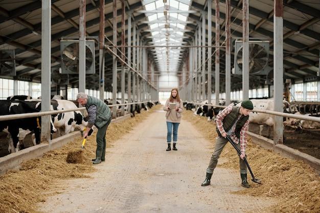 Pai e filho em trajes de trabalho, alimentando o gado em grandes piquetes com o gado, enquanto a jovem fêmea caminha pelo corredor e usa o tablet