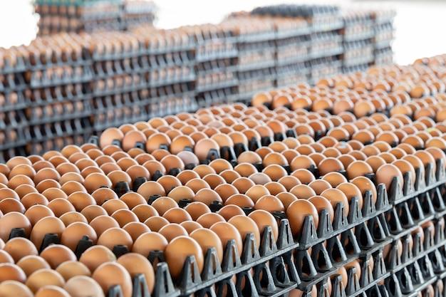 Painéis de ovos dispostos em uma granja