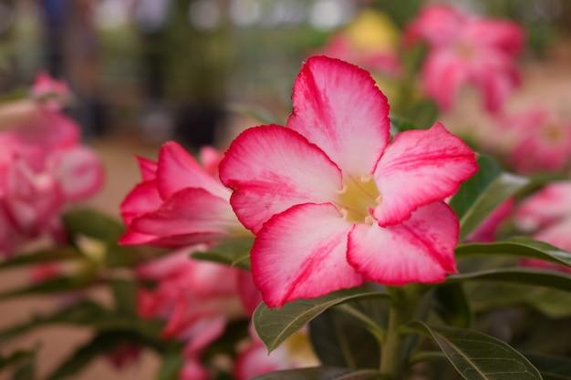 Painel de planta rosa do deserto