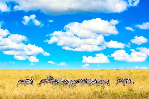 Paisagem africana. zebra na savana africana no parque nacional masai mara. quênia, áfrica.