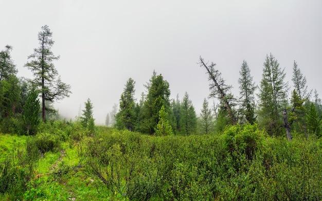 Paisagem atmosférica da floresta verde com abetos nas montanhas. cenário minimalista com floresta de coníferas de borda em névoa leve. paisagem alpina tranquila no início da manhã.
