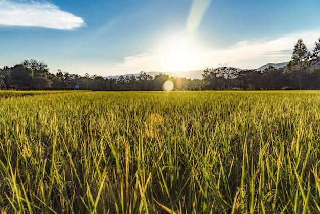 Paisagem bonita do campo e do por do sol dourados do arroz para o fundo em tailândia.