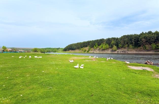 Paisagem campestre de primavera com margem gramada do rio e gansos e patos se reunindo