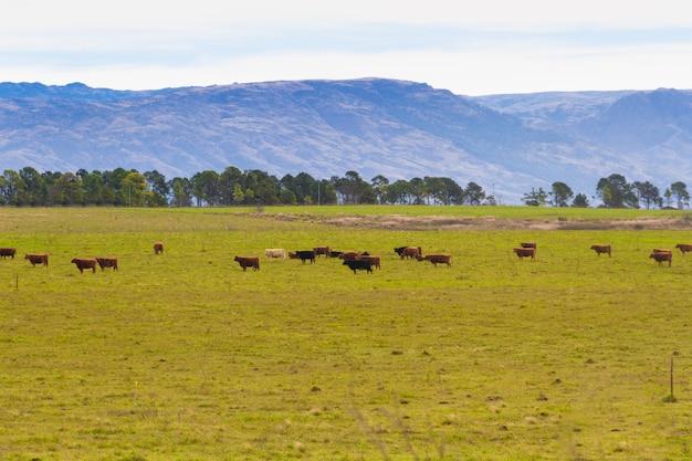 Paisagem campestre nas montanhas com vacas pastando