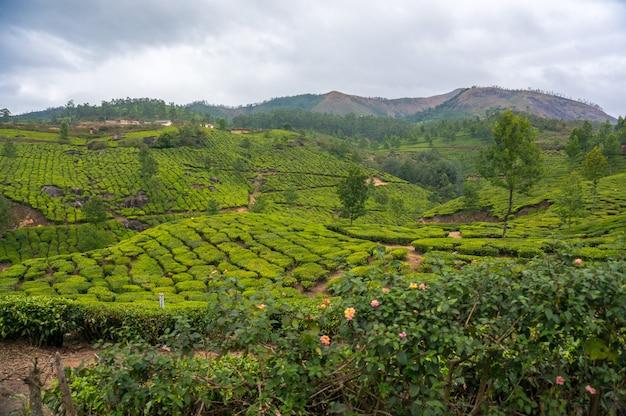 Paisagem - campos de plantação de chá na névoa da manhã no nascer do sol. munnar, kerala, índia