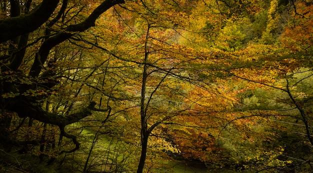 Paisagem colorida, a capa verde de musgo com folhas amarelas na floresta de faias outono