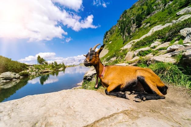 Paisagem com cabras da montanha nos alpes europeus.