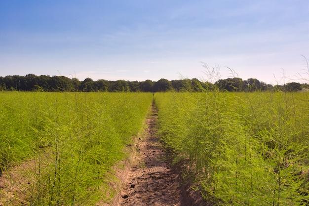 Paisagem com campo de espargos, plantação fresca dos agricultores de espargos vegetais colhem em abril com céu azul