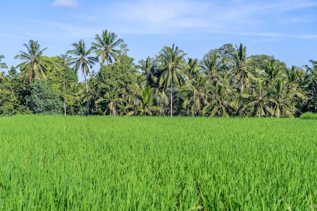 Paisagem com campos verdes de arroz e palmeiras em um dia ensolarado na ilha de bali, indonésia