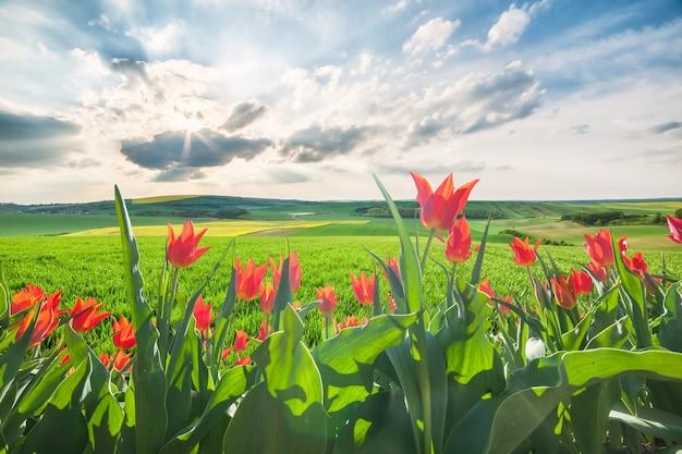 Paisagem com campos verdes e flores de tulipa