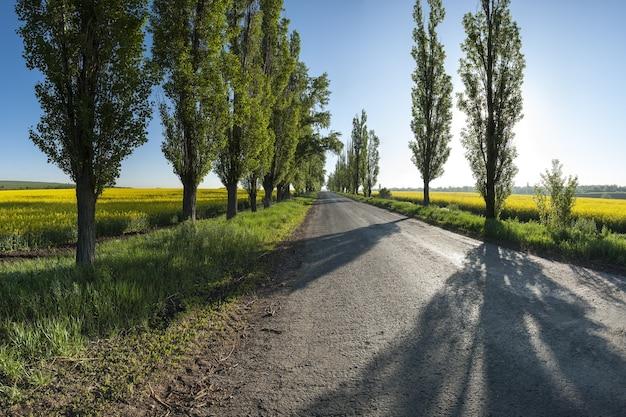 Paisagem com estrada velha entre campos de colza amarela e choupos à beira da estrada
