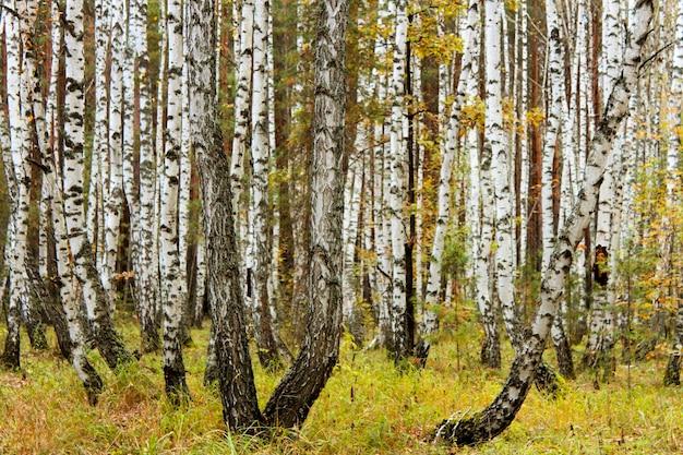 Paisagem com tronco de bétula na floresta de outono