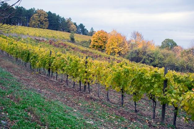 Paisagem com vinhas de outono e uva orgânica em ramos de videira