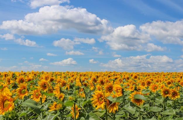 Paisagem com vista para o campo de girassóis florescendo e o céu com nuvens