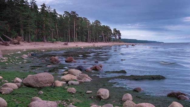 Paisagem crepuscular. antiga floresta de abetos vermelhos no mar do norte.