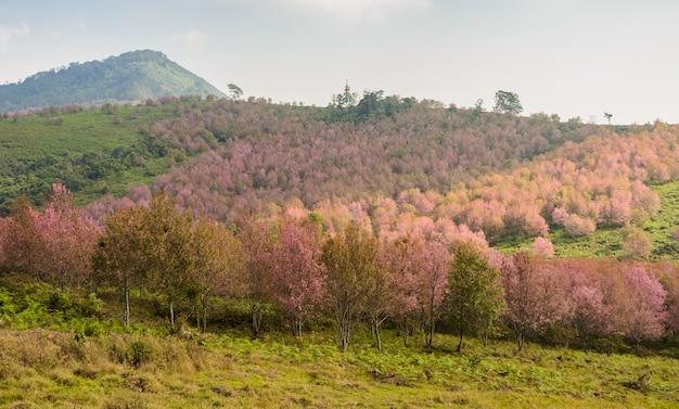 Paisagem da floresta de cerejeira selvagem do himalaia em plena floração, tailândia