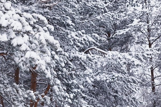 Paisagem da floresta de inverno. árvores altas sob cobertura de neve. dia gelado de janeiro no parque.