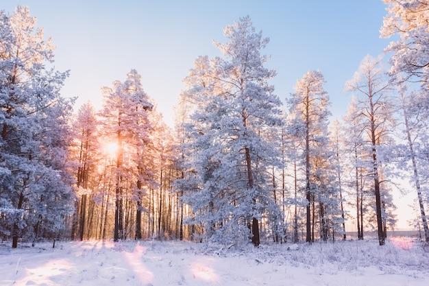 Paisagem da floresta de inverno com pinheiros e sol