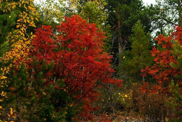 Paisagem da floresta de outono com folhas amarelas e vermelhas brilhantes e árvores verdes ao fundo
