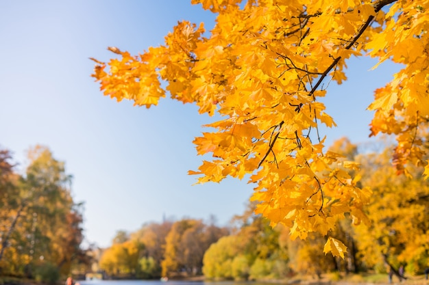Paisagem da floresta de outono em um dia ensolarado com fundo de folhas de plátano. foto de alta qualidade