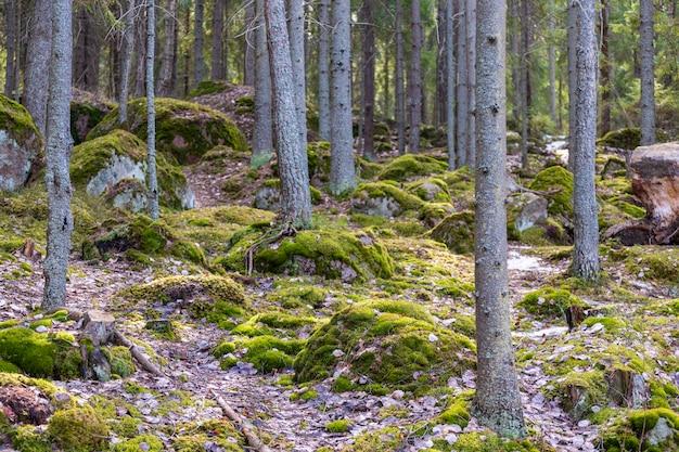 Paisagem da floresta na primavera com pinheiros. foto de alta qualidade
