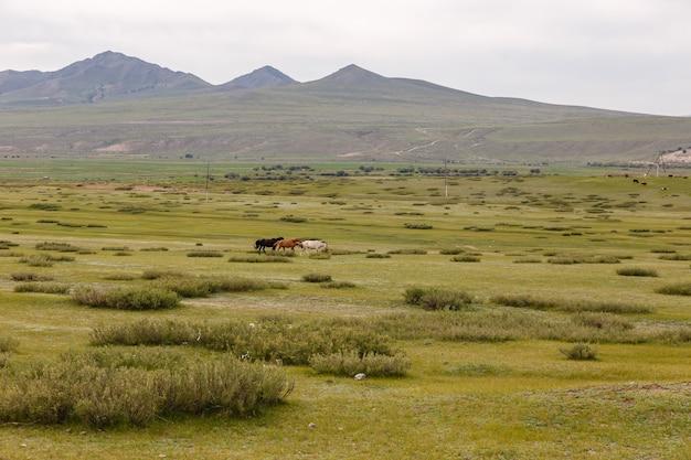 Paisagem da mongólia, três cavalos multicoloridos correm pela estepe do vale orkhon