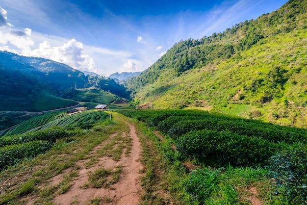 Paisagem da plantação de chá 2000 no doi ang khang