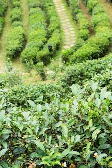 Paisagem da plantação de chá pela manhã.