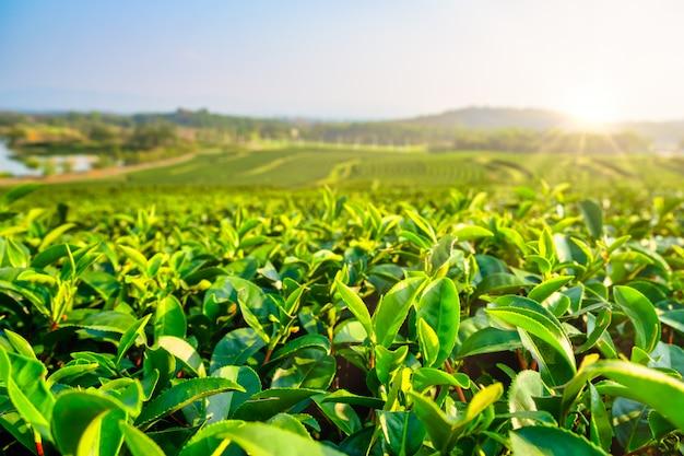 Paisagem da plantação de chá verde de manhã. agricultura orgânica na zona rural.