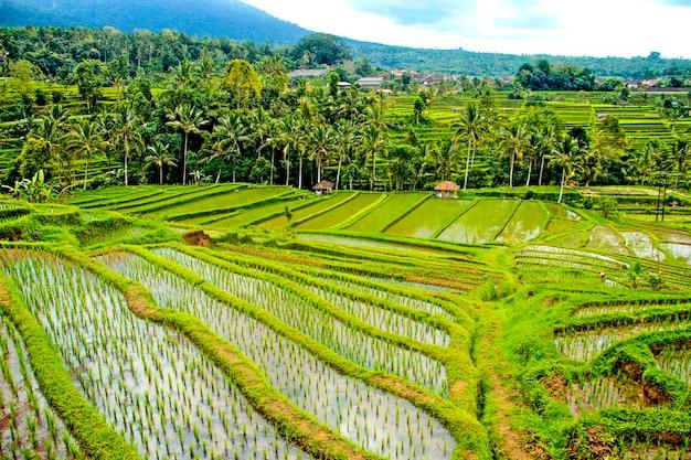 Paisagem de arrozais jatiluwih, bali. indonésia