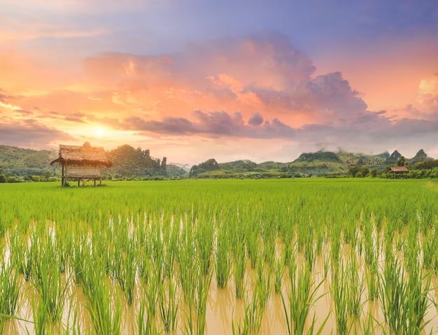Paisagem de campo de arroz com casca de árvore