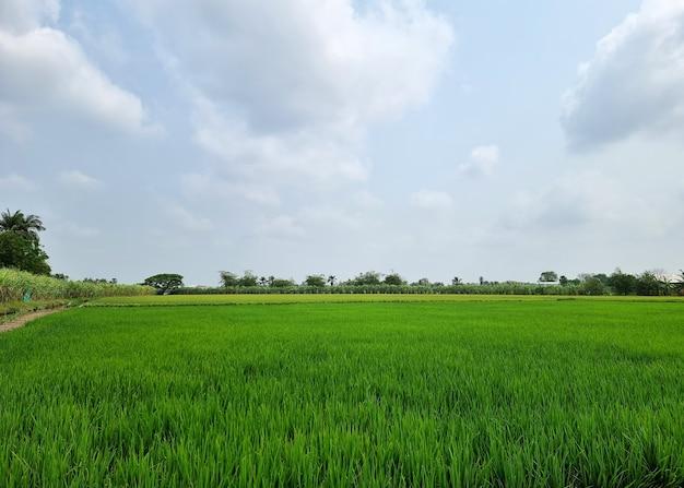 Paisagem de campo de arroz em nuvem e fundo de céu azul