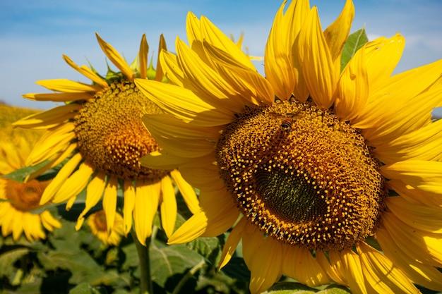 Paisagem de campo de flores solares na temporada de verão