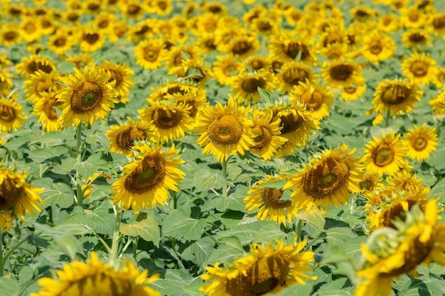 Paisagem de campo de girassol amarelo.