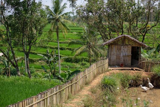Paisagem de campos de arroz verde com casa e patos