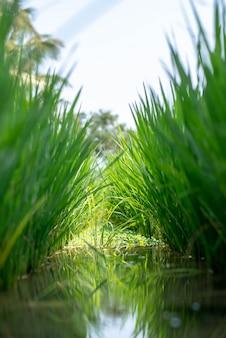 Paisagem de campos de arroz verde