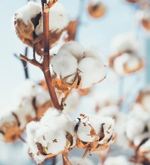 Paisagem de colheita de algodão com área de espaço de cópia.