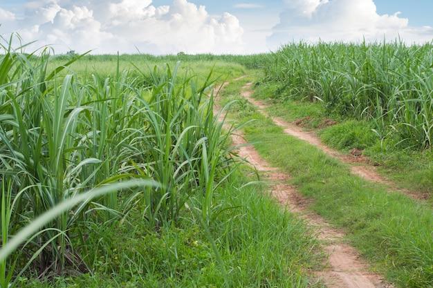 Paisagem de estrada de cana de açúcar